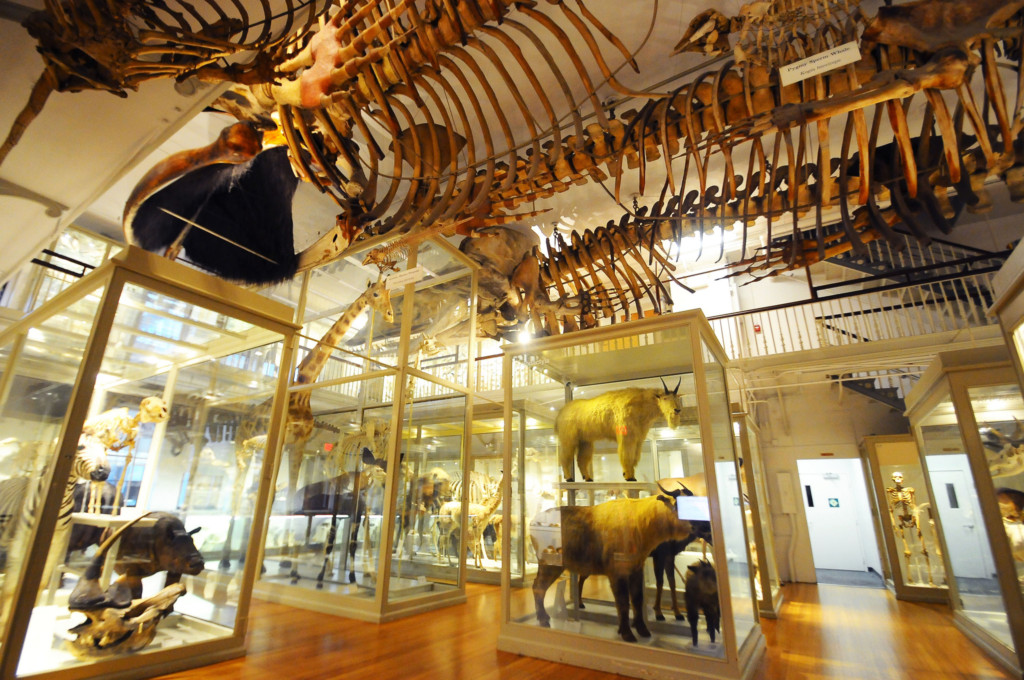 Harvard Museum of Natural History is one of the best Boston museums. Image source: Flickr